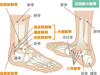 足関節の靭帯